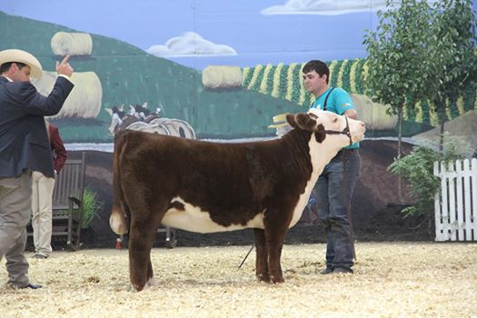 Champion Polled Heifer - JNHE - Cole Moore